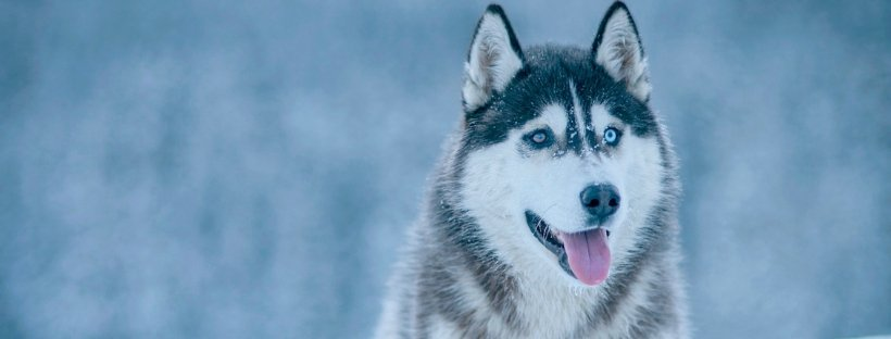Huskies You Need to Follow on Instagram Right Now